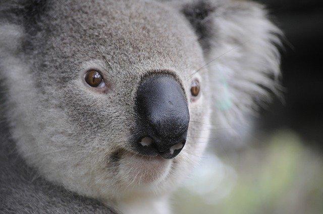 Koala Hospital Now Owns Land for Expansion